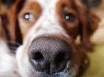 Anoplophora Spürhund Epagneul Breton